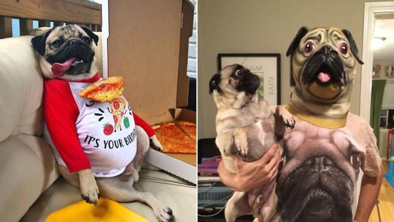 'Pug' Cinsi Köpeklerin Sevimlilikte Sınır Tanımadıklarını Gösteren 9 Fotoğraf