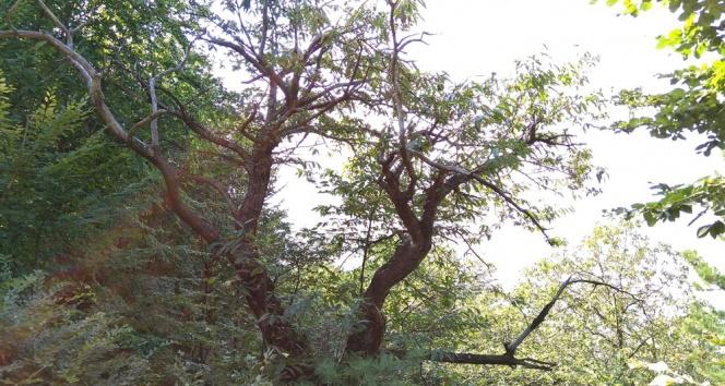 Katil arılar kestane ağaçlarını kuruttu