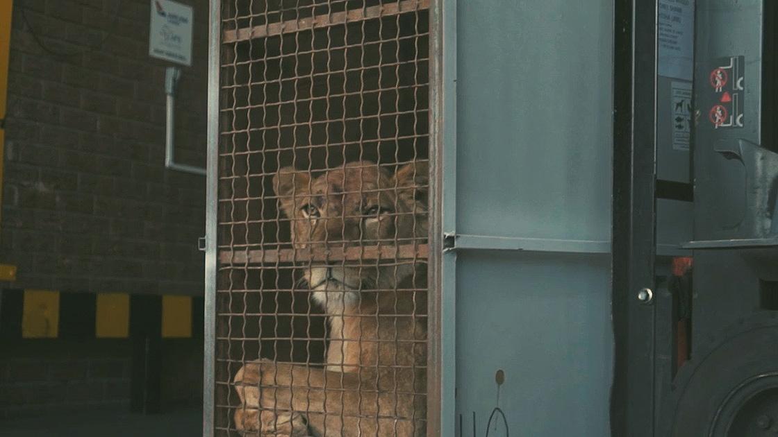 Doğal Yaşam Alanlarına Kavuştular: Turkish Cargo, Ukrayna'da Kurtarılan Sirk Aslanlarını Güney Afrika'ya Götürdü