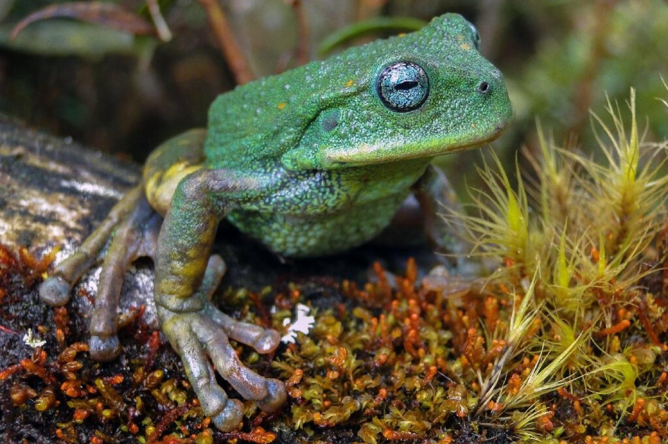 Amazon'da Yeni Kurbağa Türü Keşfedildi: Turkuaz Gözleri ve Lekesiz Cildiyle Dikkat Çekiyor