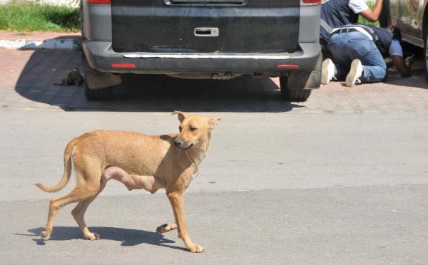 Anne Yavrularının Yanından Ayrılmadı: Antalya'da 5 Yavru Köpek Önce Zehirlendi, Sonra Yakılarak Katledildi
