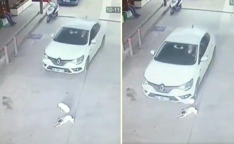 Benzin İstasyonunda Masum Bir Şekilde Yerde Yatan Köpekleri Aracı ile Ezip Geçen Caninin Tepki Çeken Görüntüleri