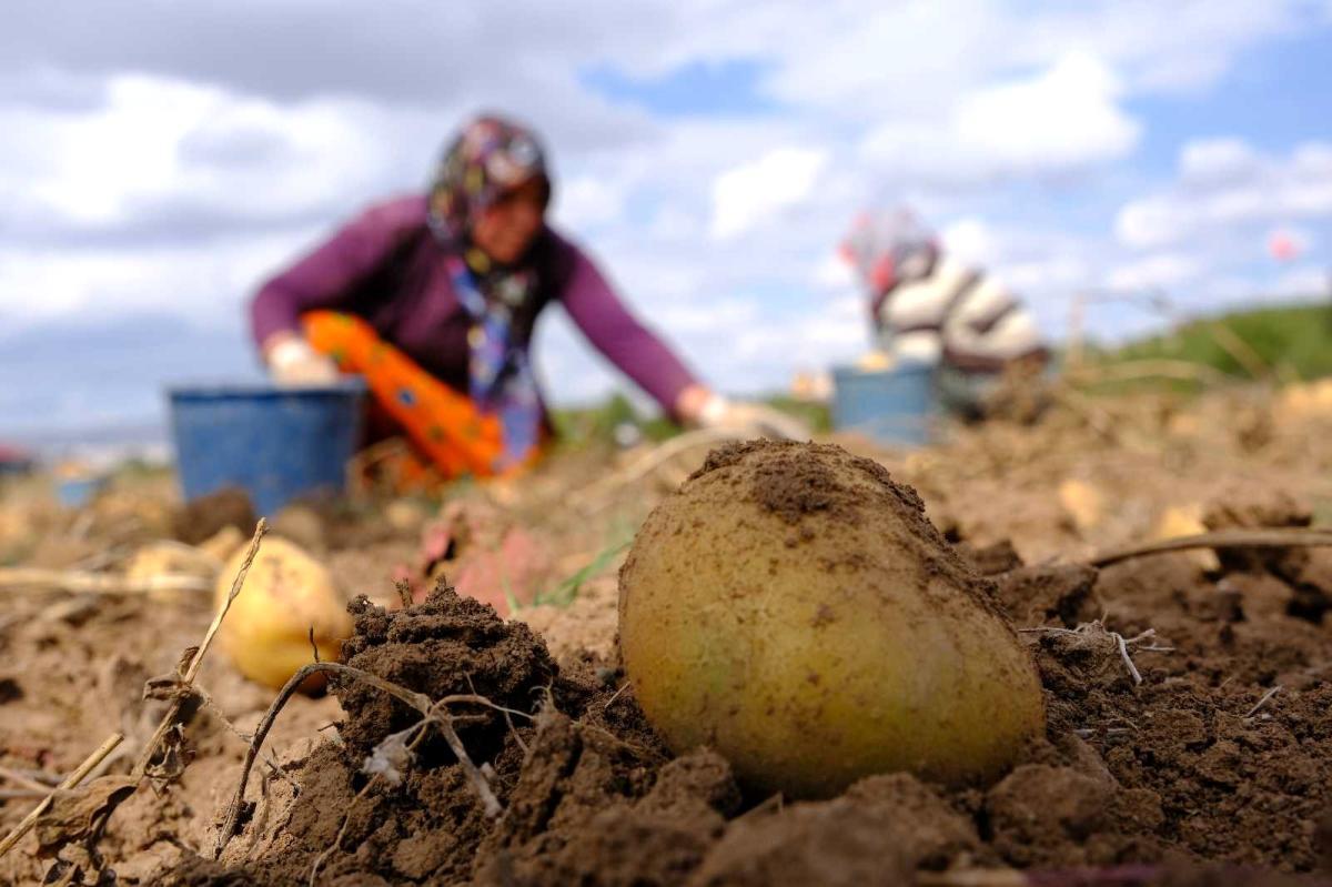Bu gübre sayesinde 10 dönüm alandan 30 ton patatesi hasat edildi