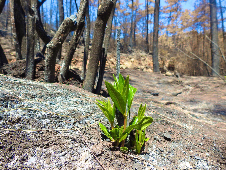 Doğa Küllerinden Doğuyor: Muğla'da Yangın Sonrası İlk Filizler Çıktı