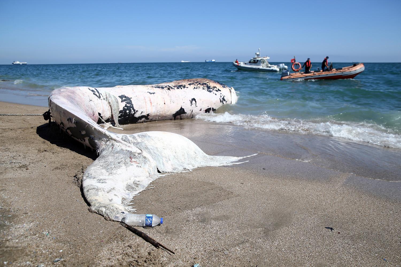Dünyadaki En Büyük İkinci Tür: Mersin Sahiline 14 Metrelik Oluklu Balina Vurdu