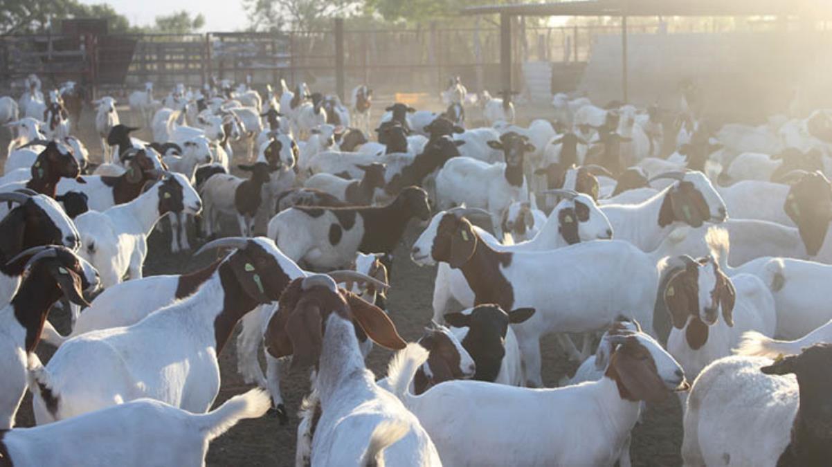 Keçilerini Zoom'dan vatandaşlara izleten çiftçi, şimdi paraya para demiyor