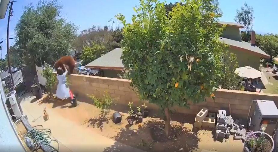 Köpeklerini Korumak İçin Bahçeye Giren Ayıya Saldıran Kadın