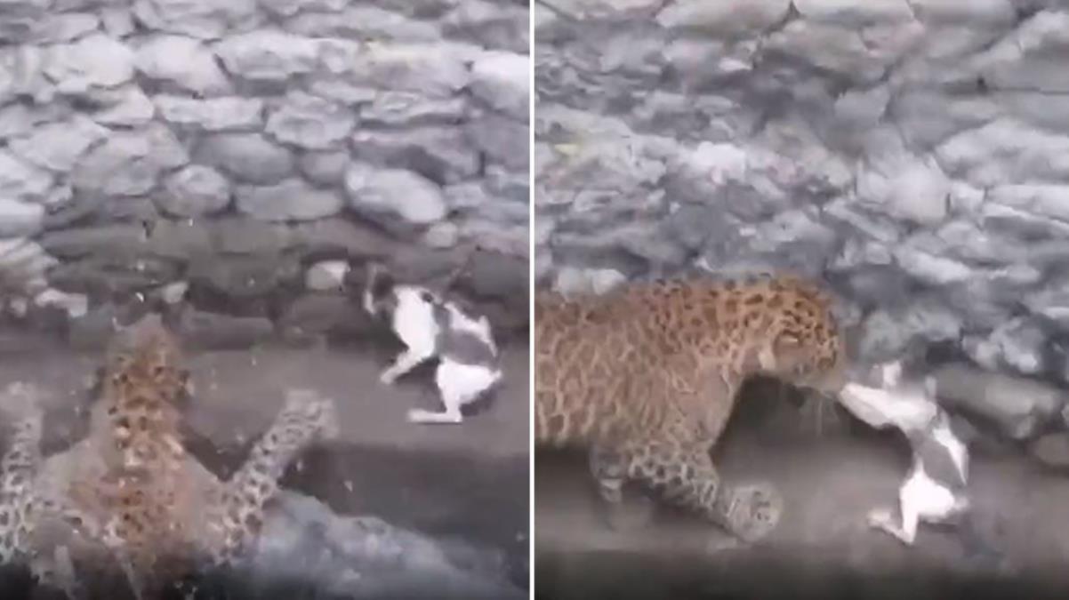Köylü kükreme sesine koştu! İşte leoparla aynı kuyuya düşen kedinin amansız mücadelesi