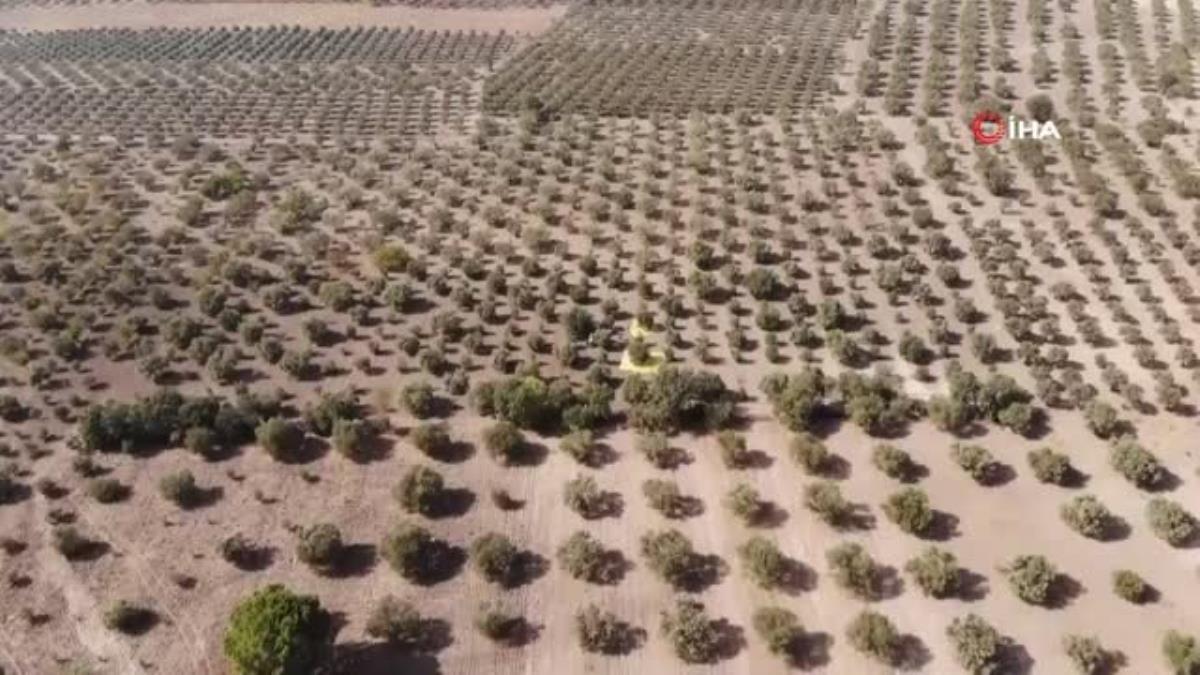 Manisa'da hasadı başlayan zeytinde endişe veren görüntü