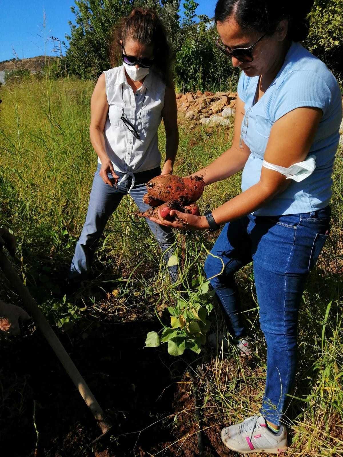Mersinli kadın çiftçilerin ilk kez yetiştirdiği tatlı patatesler ay sonunda hasat edilecek