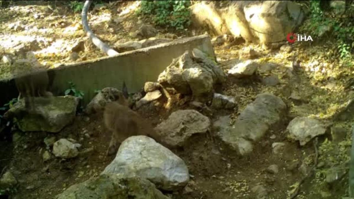 Ormanın hayalet kedisi 'Karakulak' Antalya sınırlarında görüntülendi