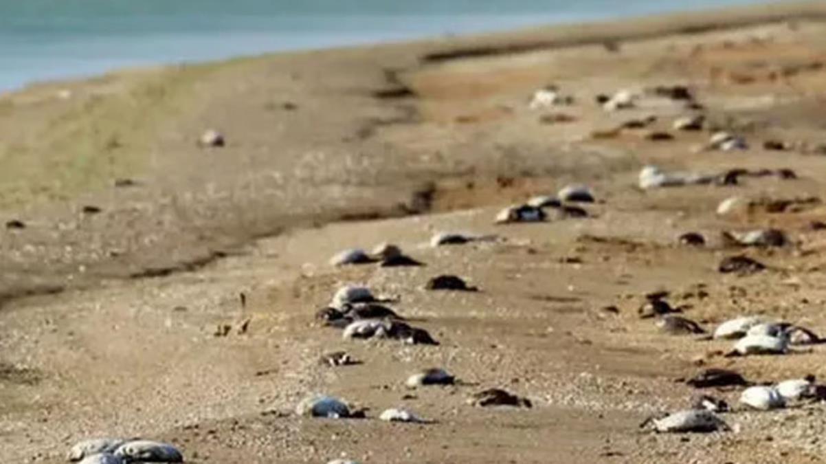 Rusya'da 8 bin ölü kuşun sahile yağdığı görüntüler korkuttu! Dünya basını yaşananlara