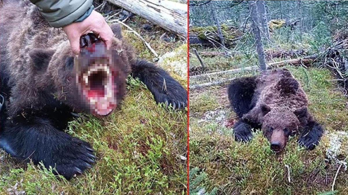 Rusya'da dehşete düşüren olay! Canavar ayı, 16 yaşındaki çocuğu parçalara ayırıp yedi