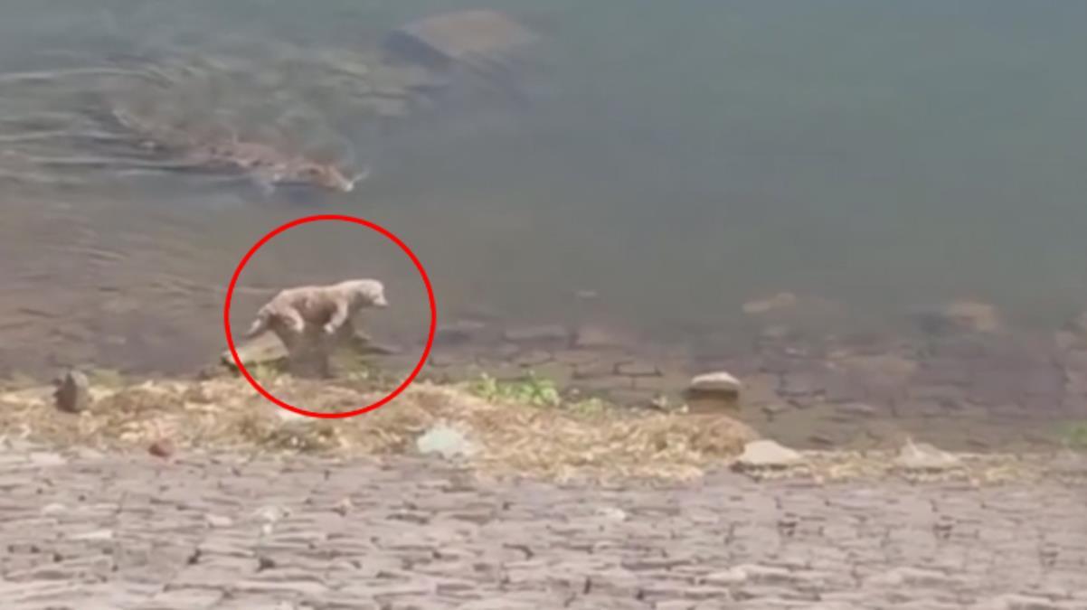 Serinlemek için suya giren köpek, timsaha yem oldu