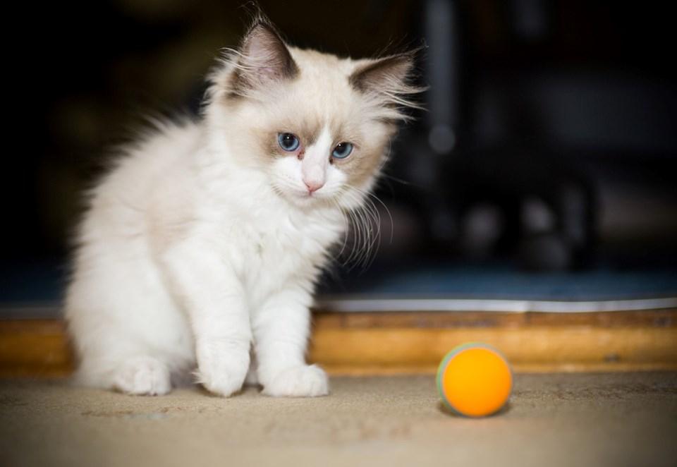 Tespit Edilen İlk Ölüm: Bir Kedi Kovid-19 Sebebiyle Hayatını Kaybetti