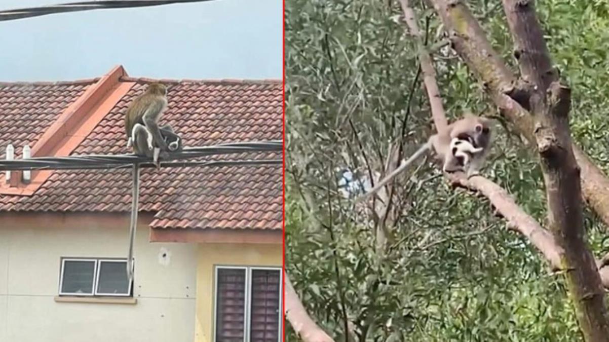 Vahşi maymun çeteleri Malezya'yı karıştırdı Yavru bir köpeği 3 boyunca rehin aldılar
