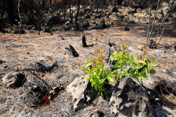 Yangında Yok Olan Manavgat Ormanları Canlanmaya Başladı: 7 Bitki Türü Yeniden Filizlendi