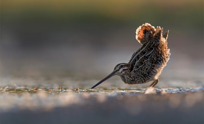 11 Gün Aralıksız Uçtu: Alaska'dan Yeni Zelanda'ya Giden Kuştan 12 Bin Kilometrelik Rekor