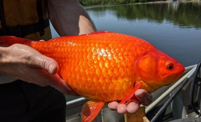 ABD'de göle bırakılan Japon balıklarının görüntüsü şaşkına çevirdi