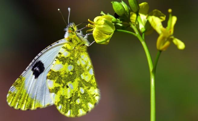 Adım adım gezdiği doğada 150 tür kelebeği fotoğraflamayı başardı