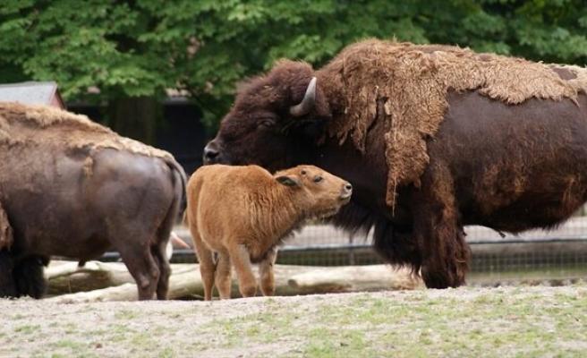 Amaç Sürü Büyüklüğünün Küçültülmesi: ABD 400 Bizonu Öldürecek Gönüllü Arıyor