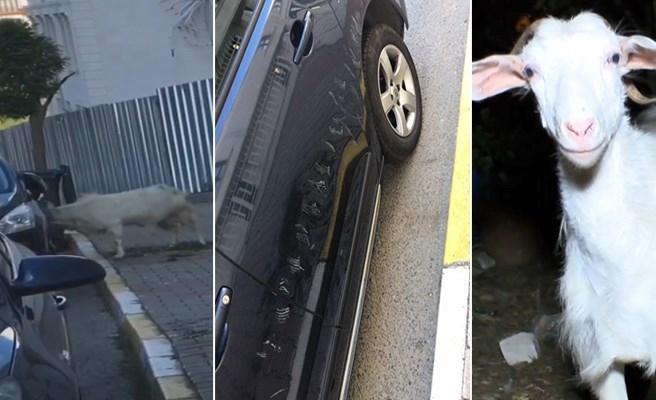 Arabadaki Yansıması ile Kavga Eden Keçi 3 Bin Liralık Zarar Verdi