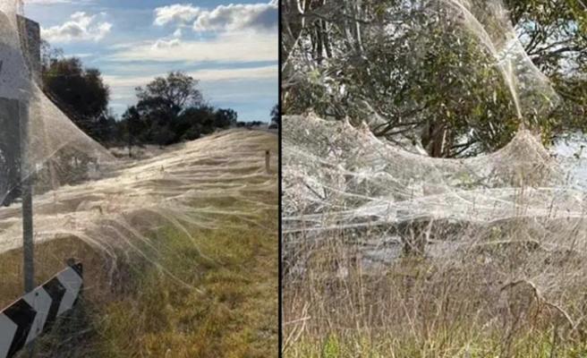 Avustralya, fare istilasından kurtulamadan yeni bir felaketle karşı karşıya! Her yeri örümcek ağı sardı