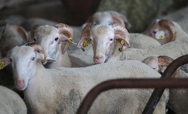 Bakan Pakdemirli: 'Satılamayan Kurbanlıkları Et ve Süt Kurumu Alacak'