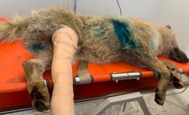 Bingöl'de aracın çarptığı kurt, tedavi altına alındı
