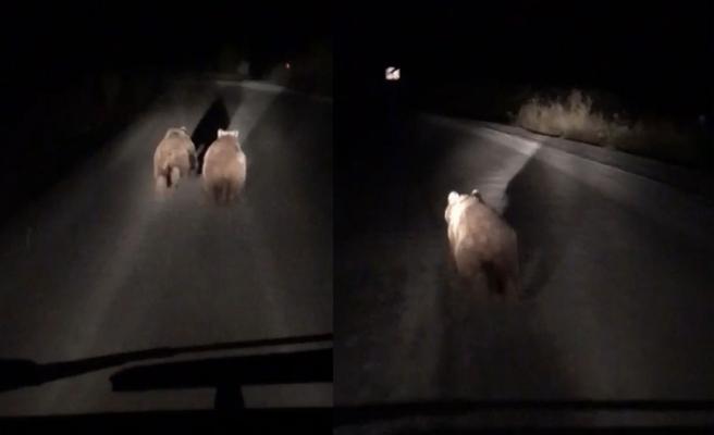 Bursa'da yavru ayılar yola indi