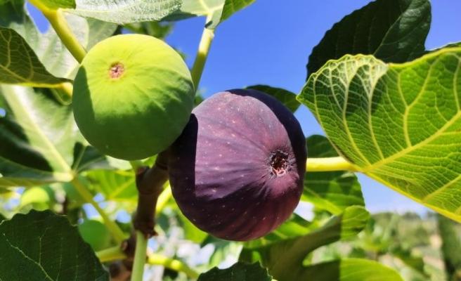 Bursa'nın siyah inciri Çin pazarına girmeye hazırlanıyor