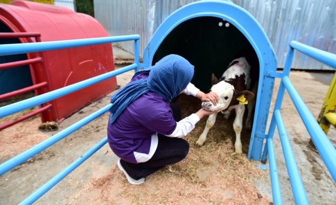 Buzağılara anne şefkati ile yaklaşan veteriner