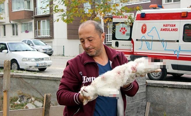 Cinayet Büro Çözdü: Bolu'daki Kedi Ölümlerinin Sebebi Köpeklermiş