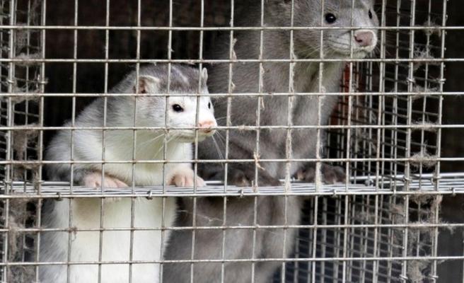 Danimarka'da hayvanlarda görülen koronavirüs vakaları nedeniyle 2,5 milyon vizon öldürülecek