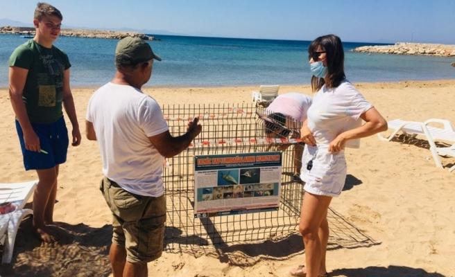 Deniz kaplumbağaları Didim plajlarına 2. kez yumurta bıraktı