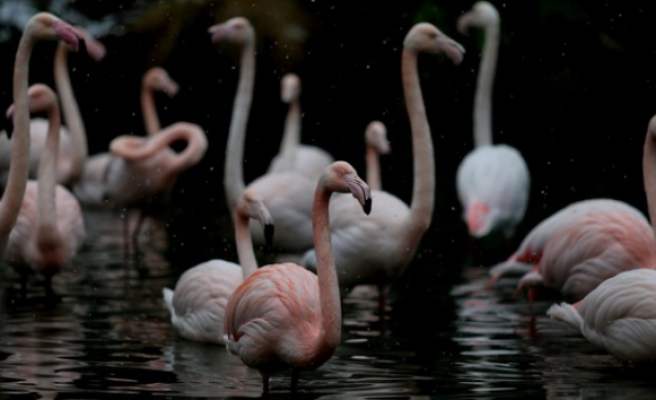 Flamingo ailesi böyle görüntülendi