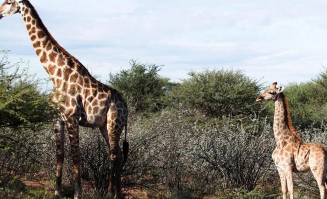 Genetikleri mi Değişiyor? Yaban Hayatında İlk Kez Cüce Zürafa Görüntülendi