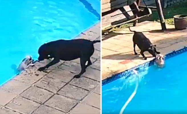 Havuza Düşen Dostunu Kurtarmak İçin Uzun Süre Çabalayan Köpeğin O Anları