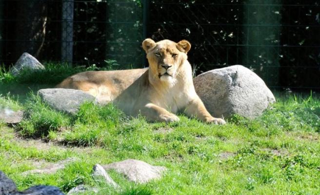 Hayvanat bahçesine de sıçradı! Koronaya yakalanan aslan ailesinden 1 dişi aslan öldü