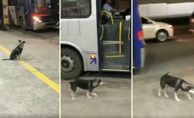 Her Gün Aynı Saatte Aynı Yerden Otobüse Binerek Şoförden Kurabiyesini Alan Köpek
