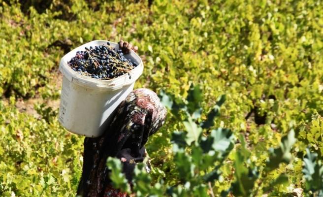 Hizan'da geleneksel yöntemlerle bir asırdır üzüm pekmezi yapılıyor