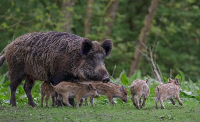 İlk Kez Gözlemlendi: Bir Grup Yaban Domuzu, İki Yavruyu Kafesten Kaçırdı