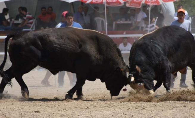 İptal Kararı İptal Edildi: Kumluca'daki Festivalde Boğa Güreşlerine İzin Çıktı