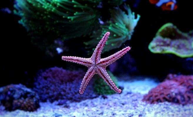 Isınan Okyanuslar Dünya Genelinde Kitlesel Çapta Görülen Denizyıldızı Ölümleriyle Bağlantılı