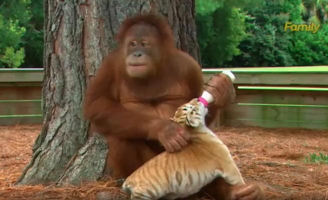 Kaplan Yavrularına Bakıcılık Yapıp Biberonla Besleyen Orangutan