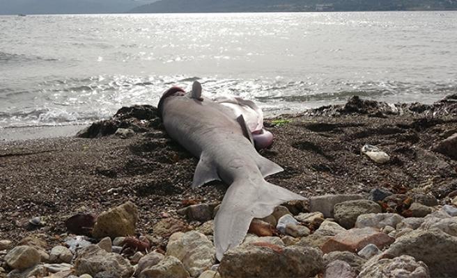 Kırmızı listeyle koruma altına alınan köpek balığı sahile vurdu