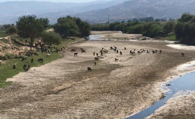 Kuruyan Büyük Menderes koyunlara otlak oldu