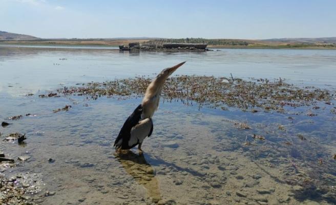 Nesli tükenme tehlikesi altında olan iki balaban kuşu bulundu