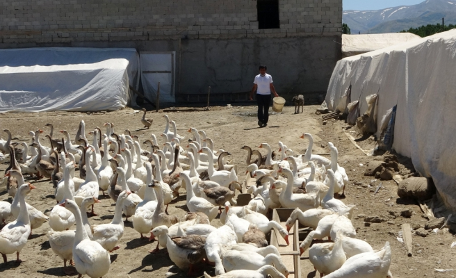 Öğretmenliği bırakıp kaz üretim çiftliği kurdu