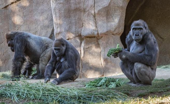 Öksürük Başlayınca Test Yaptılar: Gorillerde Koronavirüse Rastlandı